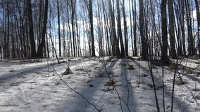 In a birch grove. This birch grove is located in the Mogilev region of the Gorki district on the way to the agro-town of Gory stock footage
