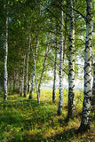 Birch grove in the morning hour Stock Photos