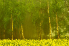 Birch grove in the morning mist Royalty Free Stock Photos