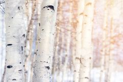 In a birch grove Royalty Free Stock Photos