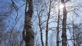 Birch grove. Nature background. Sunny spring day. Light breeze, dynamic scene. 4k video stock video