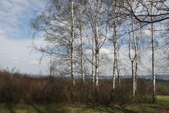Birch grove in Norh Bohemia, Czech Republic. Royalty Free Stock Image