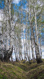 The birch grove. The photo was taken in the Altai mountains Royalty Free Stock Photos
