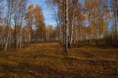A birch grove in the rays of the autumn sun. stock photos