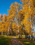 Birch grove road autumn. Dirt road through birch grove with autumn golden birch trees along the lake royalty free stock photography