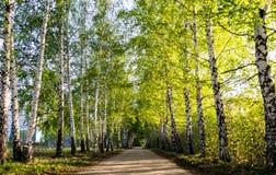 Birch Grove Royalty Free Stock Photos