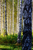 Birch grove with shadows by autumn Royalty Free Stock Image