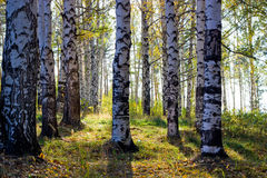 Birch grove with shadows by autumn Stock Photography