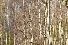 Birch Grove in Siberia. Stock Images