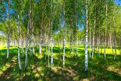 Birch grove. Siberia. Young birch grove, summer landscape. Novosibirsk region, Western Siberia, Russia royalty free stock photo