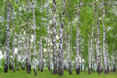 Birch Grove in the spring. Royalty Free Stock Image