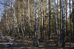 Birch grove in spring against a blue sky stock images