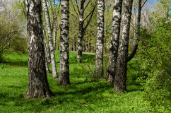 Birch grove in the spring, April 2017, Kiev, Ukraine. White trunks of birches against a bright green young, lush grass and bushes, covered with tender foliage Royalty Free Stock Photo