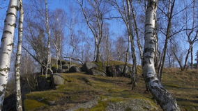 Birch grove in the spring stock footage