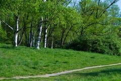Birch grove. Royalty Free Stock Photos