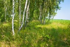 Birch grove in spring Stock Photo