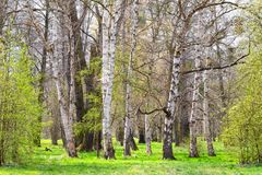 Birch grove in the spring landscape background Stock Photography