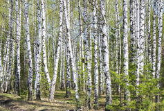 Birch grove in the spring Stock Photos