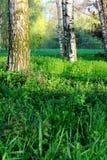 Birch grove in the spring morning Stock Photos