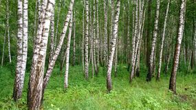 Birch grove in spring royalty free stock images