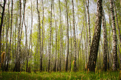 Birch grove in the spring. A number of tall, slender birches, staring at the sky Royalty Free Stock Photos