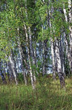 Birch grove in summer Stock Images