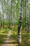 Birch grove in summer Royalty Free Stock Photos