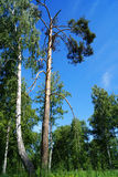Birch grove in summer day Royalty Free Stock Photography