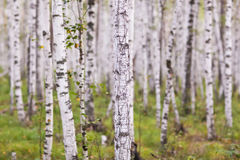 Birch grove in the summer Royalty Free Stock Photography