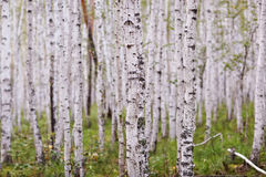 Birch grove in the summer Stock Photography