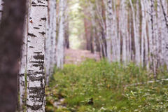 Birch grove in the summer Royalty Free Stock Photos