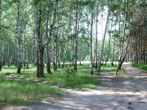 Birch grove on a summer day stock images