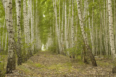 Birch grove in summer day. Landscape Stock Photos