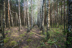 Birch grove on a summer morning Stock Photos