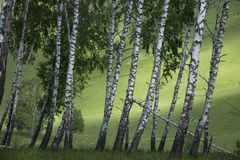Birch grove in the summer. In the mountains Royalty Free Stock Images