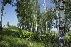 Birch grove in the summer. Near the water Stock Photo