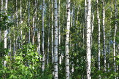 Birch grove in summer Royalty Free Stock Images