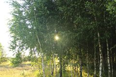 Birch grove and the sun. Spring. Summer stock image