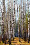 Birch grove in a Sunny day. Forest background, path among the trees royalty free stock photography