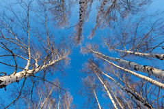 Birch grove in sunny  day Royalty Free Stock Photography