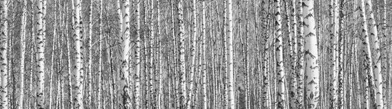 Birch grove on a sunny spring day, landscape banner. Huge panorama, black-and-white royalty free stock photo