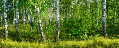 Birch grove on a sunny summer day landscape banner Royalty Free Stock Images