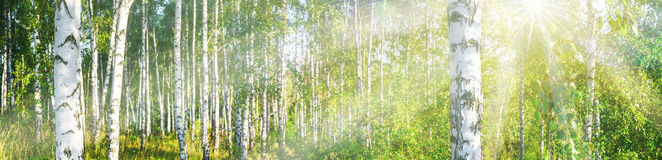 Birch grove on a sunny summer day landscape banner Royalty Free Stock Image
