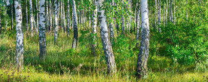 Birch grove on a sunny summer day landscape banner Royalty Free Stock Photography