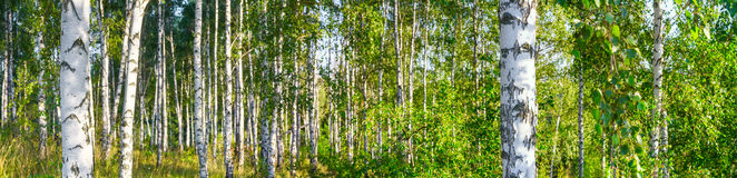 Birch grove on a sunny summer day landscape banner Royalty Free Stock Photos
