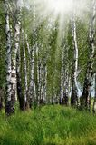 Birch grove sunny summer day Royalty Free Stock Photography