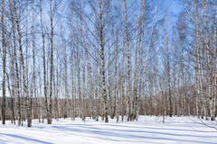 Birch grove in the sunny winter day Royalty Free Stock Image