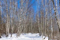 Birch grove in the sunny winter day Royalty Free Stock Photos