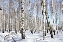 Birch grove. In Sunny winter`s day Stock Image