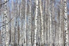 Birch grove. In Sunny winter`s day Stock Photo